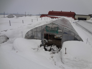 育苗ハウスはまだ雪の中