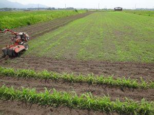 雑穀畑中耕、雑草が・・・・