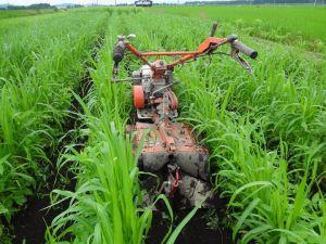 雑穀畑培土