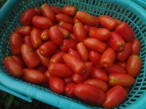 トマトどっさり収穫。