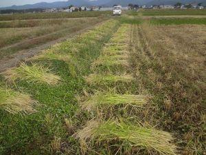 赤米刈り取り