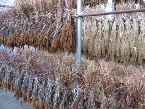 雑穀乾燥中