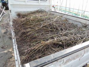 青豆の収穫