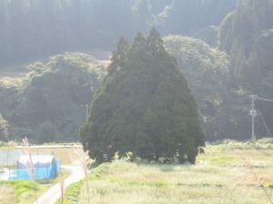 トトロの木?