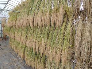 赤米自然乾燥