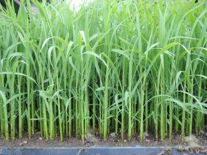 有機栽培ササニシキの苗