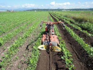 大豆の中耕培土
