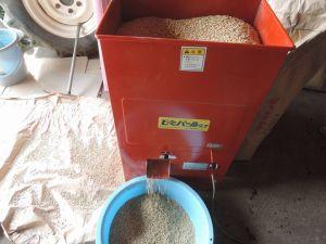 種籾の芒取り