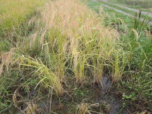 赤米刈り取り。水が溜まってる。