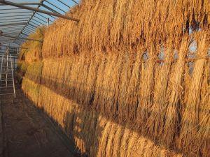赤米・黒米自然乾燥