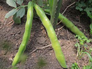 そら豆、収穫どきは?