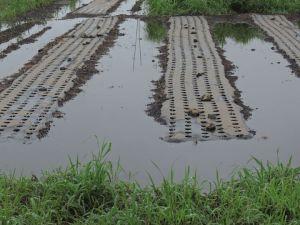 ラッキョウ畑、半分水引いた