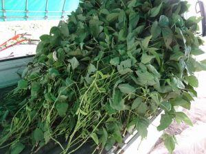 秘伝豆を刈る