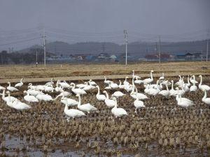 田んぼに白鳥たち
