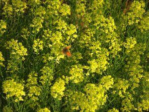 畔に咲く菜の花