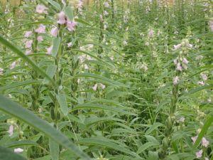 ゴマ畑は花盛り