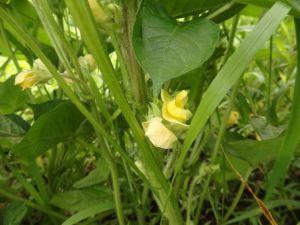 黒小豆の花